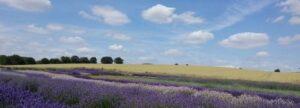 sarah ariss lavender field logo
