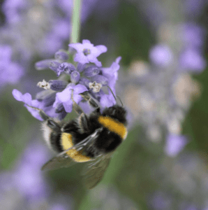 bee_on_lavender_3